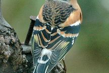 Europese vogels. / Roodmus.
