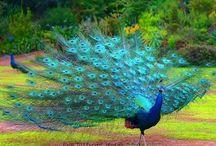 Peacocks / Pavos Reales