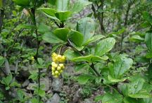 Barberry (Berberis vulgaris) / All things related to Barberry