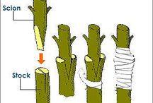 Grafting Plants