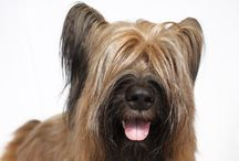 """Briard / These handsome, muscular Frenchmen are known for a wavy coat of either gray, tawny, or black, and an impressive head topped by a peek-a-boo hairdo parted naturally in the middle. A luxurious beard and eyebrows accentuate an expression Briard fans describe as """"frank and questioning."""" Standing between 22 and 27 inches at the shoulder, Briards are burly and rugged but move with a nimble-footed gait. Their dashing looks radiate a distinct aura of Gallic romance and elegance."""