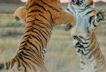 a két tigris harcias