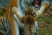 Tigres...