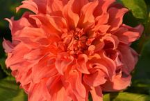 Dahlias by FAM Flower Farm / The best quality dahlias come directly from the dutch grower. Enjoy our flower pictures and get inspiration and information about dahlia tubers for your garden.