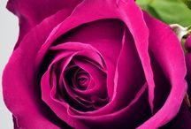 Rose / Rose