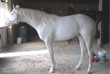 Le Camarillo White / En 1911 ou 1912, un poulain blanc inconnue allait devenir le fondateur d'une race de chevaux connue sous le nom Camarillo White. En 1921, lorsque le sultan avait neuf ou dix ans, Adolfo Camarillo, fondateur de la ville de Camarillo, en Californie découvre « l'Étalon de ses rêve », nommé Sultan, à la foire de l'État de Sacramento.
