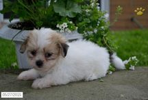 Shichons / http://www.buckeyepuppies.com/puppies-for-sale-bep/shichon