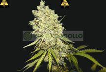 Semillas de Marihuna / Semillas de Marihuna de los mejores fabricantes. Semillas de cannabis Regulares, Feminizadas, Fotodependientes y Autoflorecientes