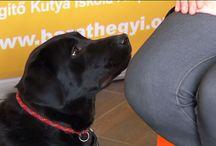 Vakvezető kutya kiképzésről a TV-ben / Vakvezető kutya kiképzésről érdekes információk a Baráthegyi Vakvezető Kutya Iskolától...
