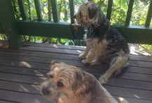 Kobie and Winston - border terriers / Our adorable dogs Winston and his mum Kobie.