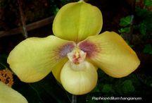 Paphiopedilum, Cypripedium,Calypso / Papucs orchideák