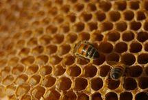 Bijenwas / Bijenwas is het bouwmateriaal van de werkbijen. Dit bijenwas is bedoeld voor de bouwstructuren (raten) van de honinggraat. De bijenwas gebruikt men voor een natuurlijke geneeswijze, apitherapie. Het is nuttig voor de mens! www.apitherapie.nl
