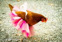 Chickens in Tutus