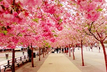cherry blossoms and beauty