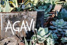 agave / SUCCULENT, CACTUS, PLANT, OUTDOORPLANTS, GIROMAGI