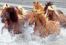 Icelandic Horses / by Therese Dignard