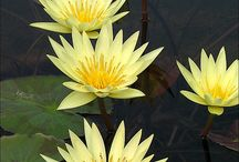 Water- Lilies