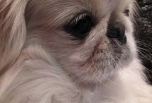Pekingese / All about the beautiful little dogs that I love