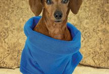 Dachshunds / Warm and snugly