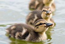 Birds- Ducks, Geese, Swans