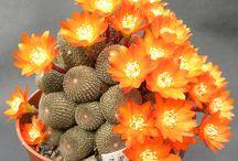 cactus coberto de flores laranja coisa linda