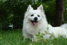 my dog a Japanese Spitz