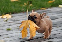 French Bulldogs Eating Leafs
