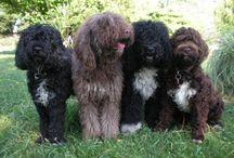 Koirakset