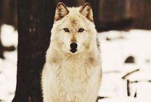 Lobos / Eles amam a lua tanto quanto eu.
