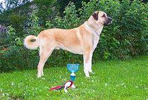 Working Group (AKC) / In der Working Group werden Hunde geführt, die als Wachhunde, Zughunde, Herdenschutzhunde und für ähnliche Aufgaben gezüchtet wurden.