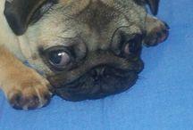 Pugs & Kisses... Millie