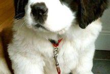 SAINT BERNARDS DOGS