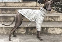 Italian greyhound clothing / italian greyhounds & italian greyhounds clothing