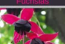 Fuchias