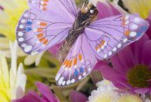 Butterfly, Moth
