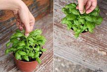 Küchen-Kräuter / Wohlduftende Kräuter wie Rosmarin, Basilikum und Salbei dürfen in keine Garten oder Balkonkasten fehlen!