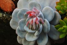Echeverias Híbridas e Cultivares / Minha coleção.