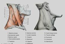 Anatomia - Pescoço