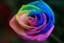 Rosen ♥♥♥  Roses / Bitte nur Rosen Pinnen andere sachen werden gelöscht ♥♥♥    Please only roses crabs other stuff are deleted
