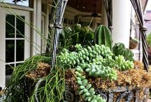 Hanging baskets succulents