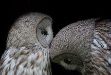 Owl my love