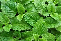 Gyógynövények / Gyógynövények a természetes gyógyításért!