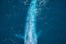 Blue Whale / by Kayla Richards