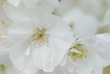 ~ white blossom ~ / by Putu Sita