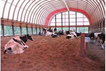 Cow Farming Ideas / by Holly Walcutt