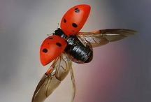 Ladybug (Uğur böceği)