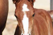 Le Boudienny / Le Boudienny, d'origine Russe, est une race qui a été créée en 1920 par le Maréchal Semion Boubienny. Il voulait créer une race pour la cavalerie qui serait endurante et facile à entretenir afin de combler le manque considérable de chevaux après la première guerre mondial.