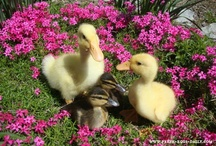 Farming/Husbandry - Ducks