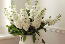 Stocks / Stocks are a highly scented seasonal flower, usually available between March and September. Stocks are always a very popular flower, especially for wedding work.