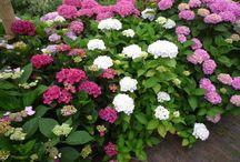 Hydrangea macrophylla - Boerenhortensia / De sfeermaker voor zowel de moderne als de nostaldische tuin